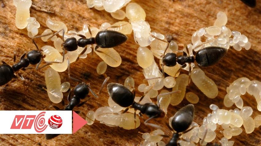 thuốc cường dương con kiến